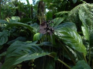 bat flower predator plant 4