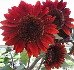 Sunflower 'Red Courtesean'
