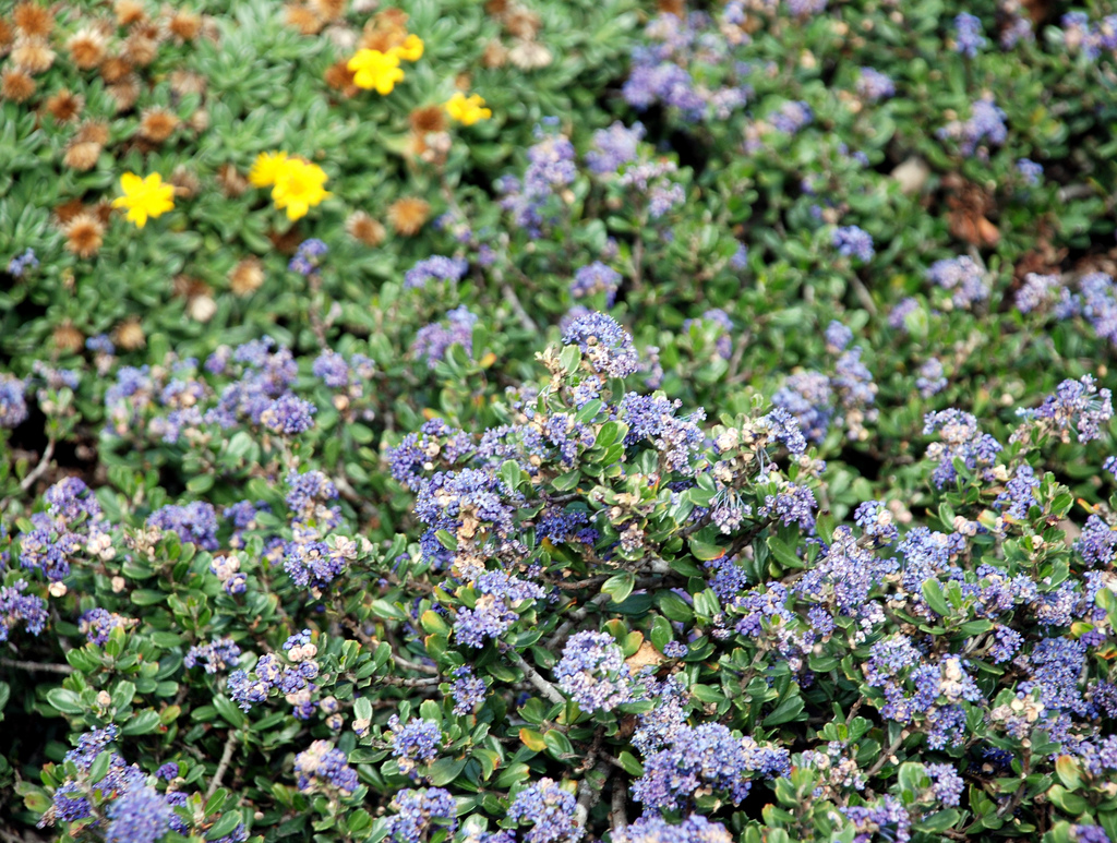 December plant of the month ceanothus mar frosty dawn dark blue flowers of low growing shrub ceanothus maritimus frosty dawn izmirmasajfo