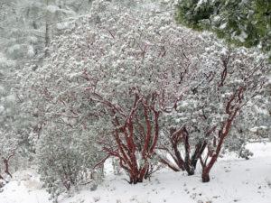 snowy Manzanita