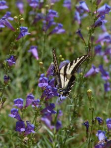 penstemon-margarita-bop-swallowtail