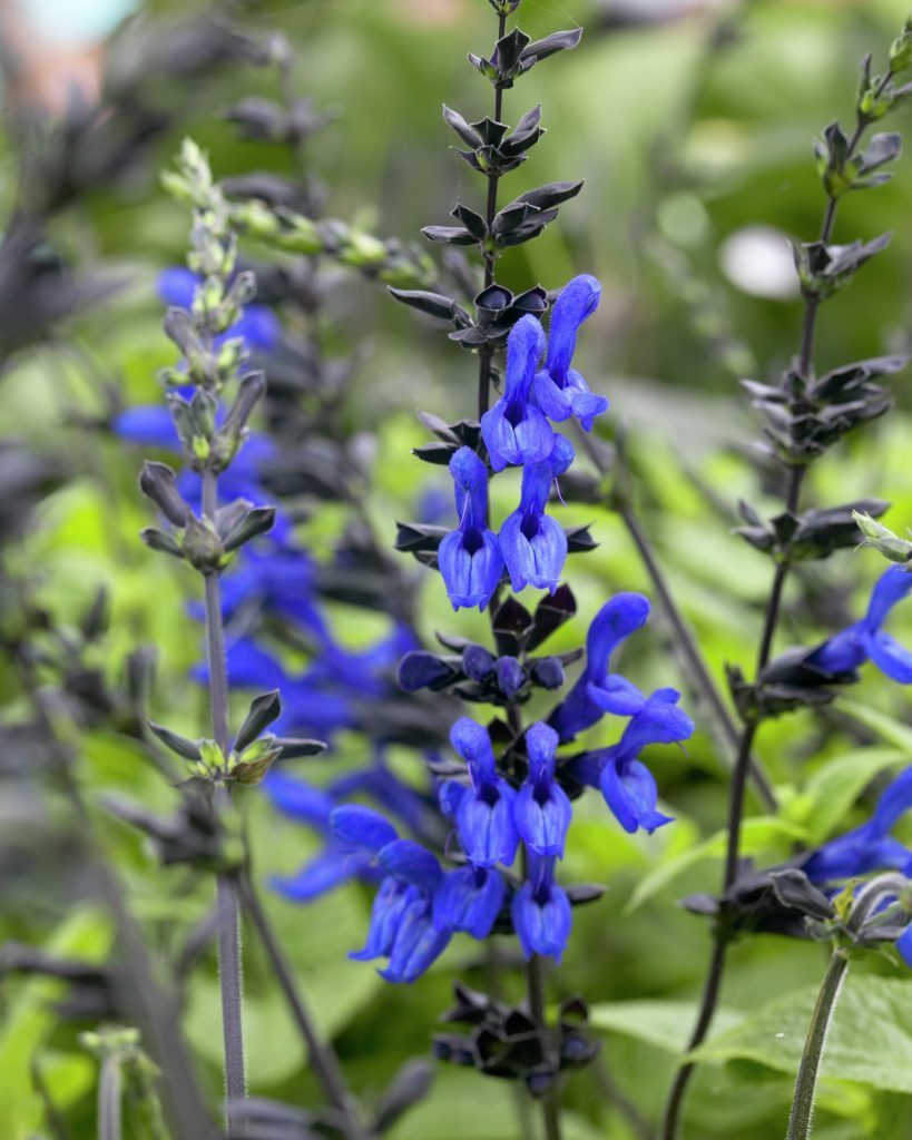 July plant of the month salvia guaranitica black and blue izmirmasajfo
