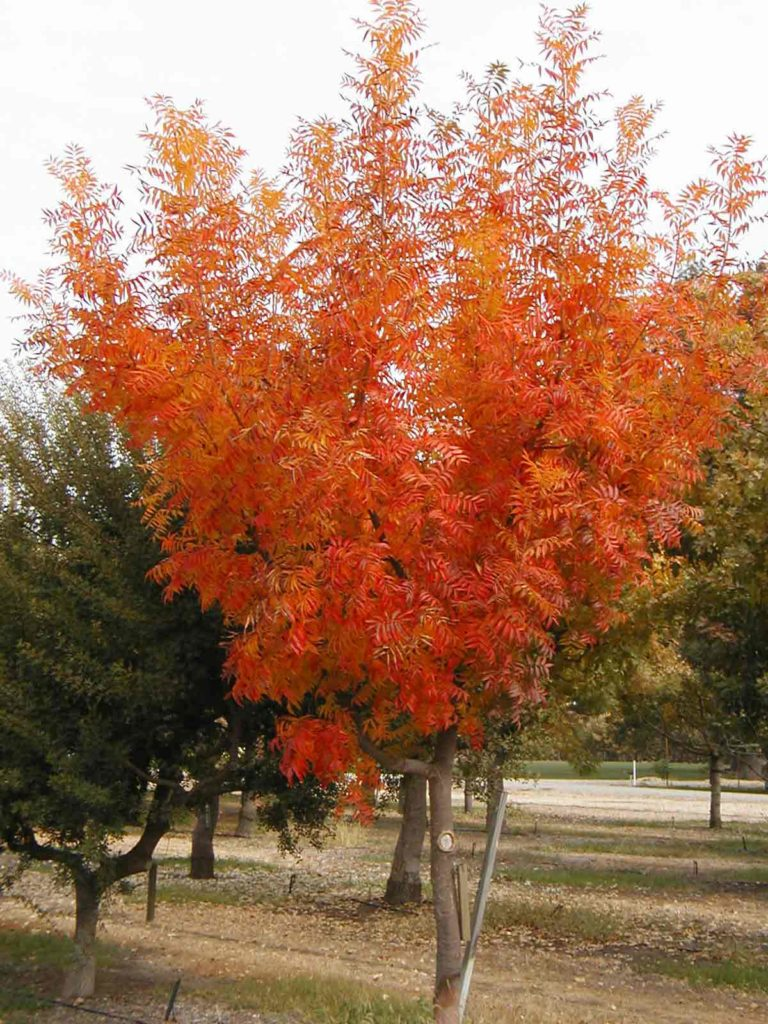 Fall color on Pistacia chinensis
