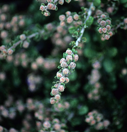 A photo by Native Sons of budding Ceanothus maritimus 'Frosty Dawn'