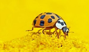 Garden Buddy: Lady Bird Beetle, aka Lady Bug